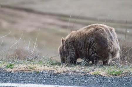 Wombat grazing by the side of the road on the Alpine Way in the Snowy Mountains