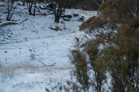 Kangaroos grazing in a snowy field on the Alpine Way just after a recent snowfall Stock Photo