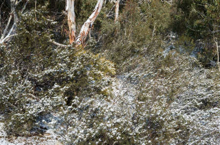 Australian bushland covered in snow after a snowfall in the snowy mountains Stock Photo