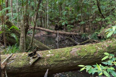 Australian Sub Tropical Rainforest on the way to the Ubajee Walkers Camp, Sunshine Coast
