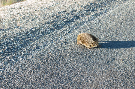 Echidna crossing the road slowly in the afternoon on the Alpine Way 스톡 콘텐츠