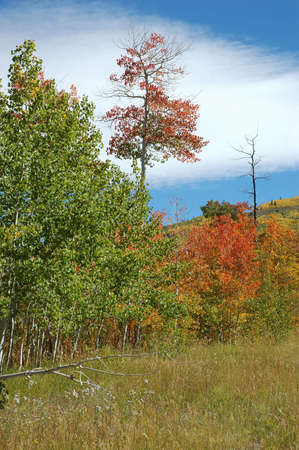 Red Aspen on the Grand Mesa