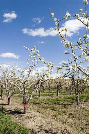Apple Orchard on Orchard Mesa, Palisade, Colorado Stock Photo