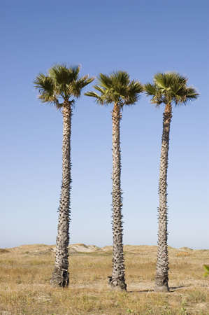 Three palm trees on the beach at Ventura, California