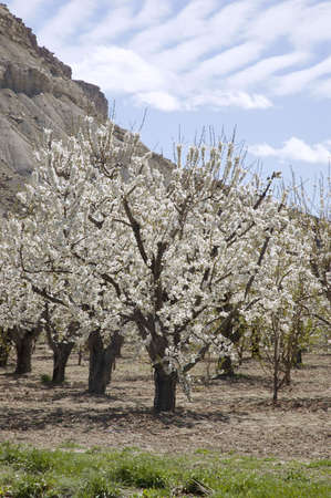 White Blossoming Trees