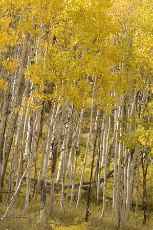 Aspen Woods in Autumn