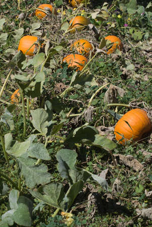 Ripe pumpkins await harvest in a sunny field in October