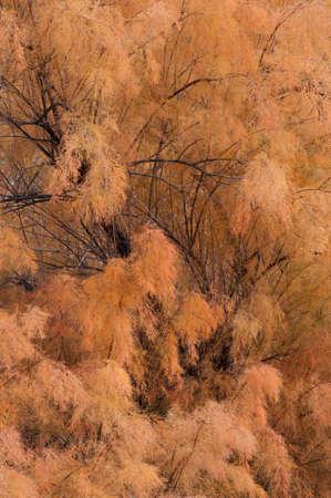 Autumn Tamarisk Stock Photo