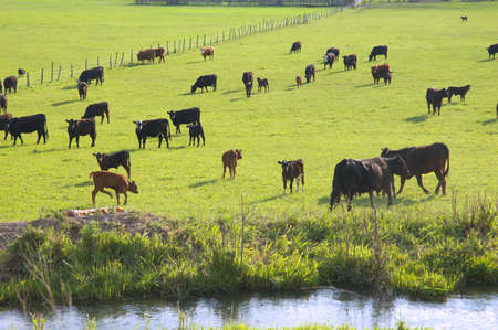 Cattle in a green pasture