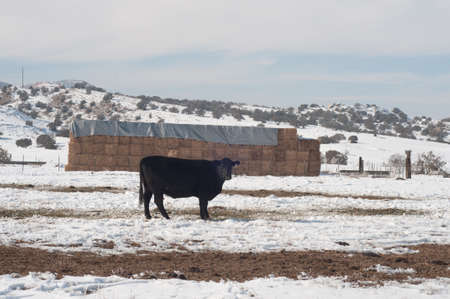 Black steer with hay bales in snowy pasture Stock Photo - 11865660