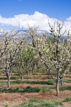 palisade: Fruit Orchard in Bloom Near Palisade, Colorado Stock Photo