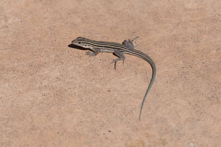 Lizard on Red Sandstone