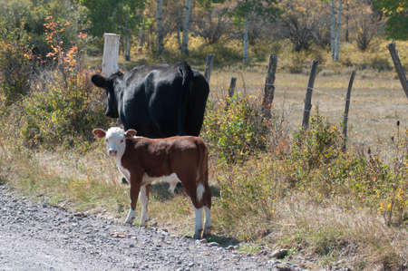 Cow and Calf beside road