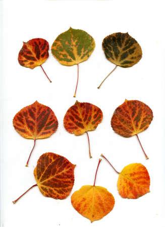 Numérisée automne tremble laisse