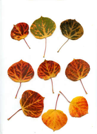 scanned: Scanned autumn aspen leaves