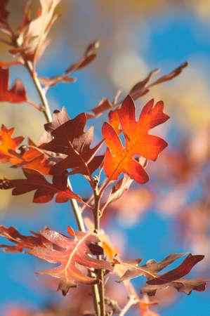 Gambel de feuille de chêne en automne