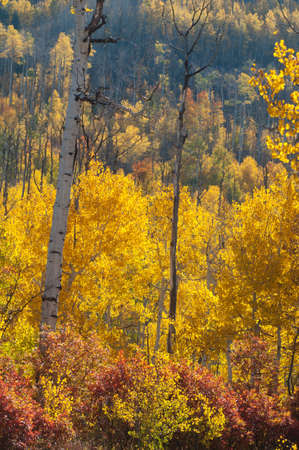 Autumn aspens on the Grand Mesa, Colorado Stock Photo