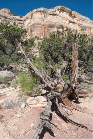 Falaise de grès de genévrier arbre mort