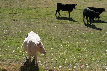 Du bétail dans un champ