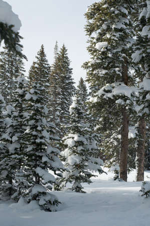 Fresh, deep snow in a conifer forest on the Grand Mesa in western Colorado  Sunny winter afternoon in February  Stock Photo