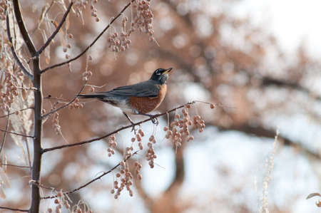 American Robin in Early Winter Stock Photo
