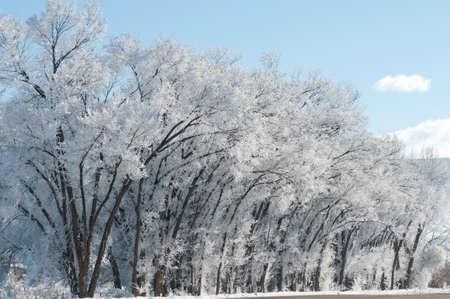 cottonwood  tree: Hoarfrost on Cottonwoods
