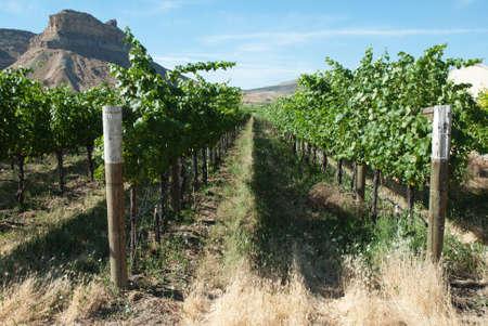 Western Colorado Vineyard