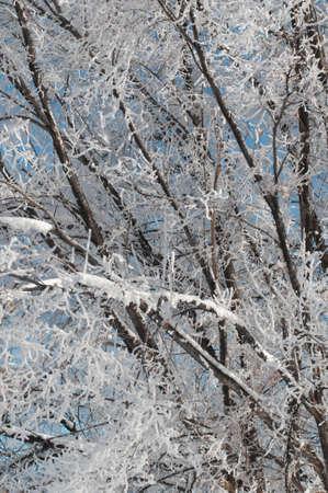 Gelée blanche sur les branches
