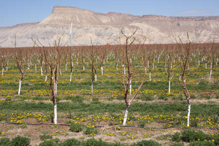 Fruit orchards near Palisade in bloom Stock Photo