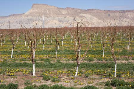 Les vergers en fleurs pr?de Palisade