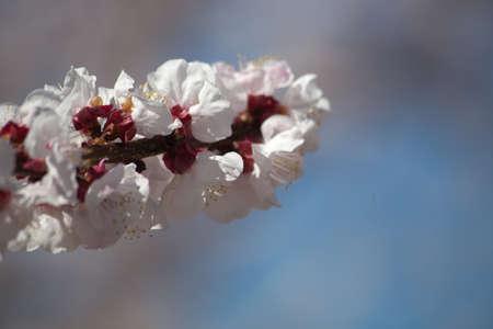 Spring Blossom Contexte
