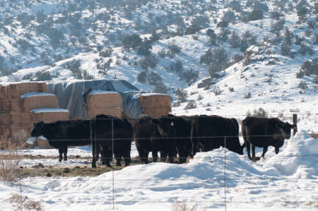 Cattle in Winter Stock Photo