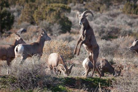 Desert Bighorn Sheep dans le Colorado National Monument