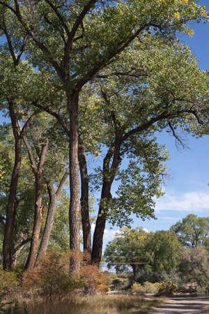 Tall Cottonwoods