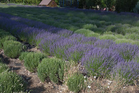 Lavender plants in rows Stock Photo