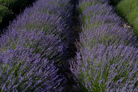 Two rows of blooming lavender in a field on a farm in western Colorado