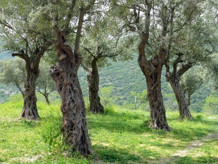 Olive trees in spring on background of green hills