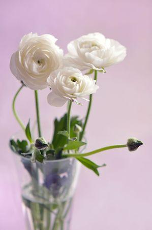 Closeup of wtite ranunculus in vase