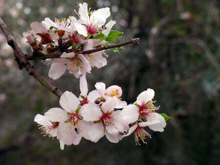 Branch of almond flower on natural dark background