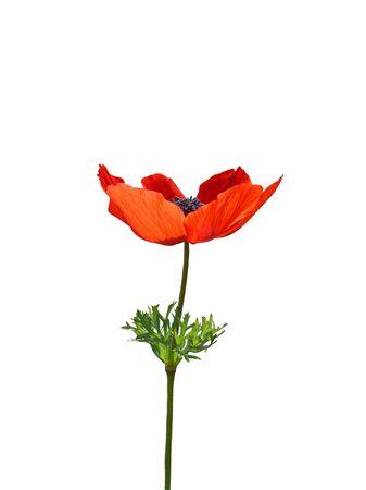 Close up of poppy flower isolated on white background Stock Photo