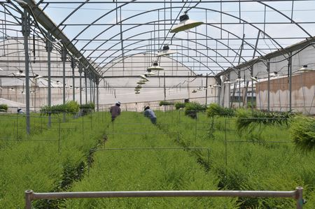 Agricaltural workers collecting plants in greenhouse.