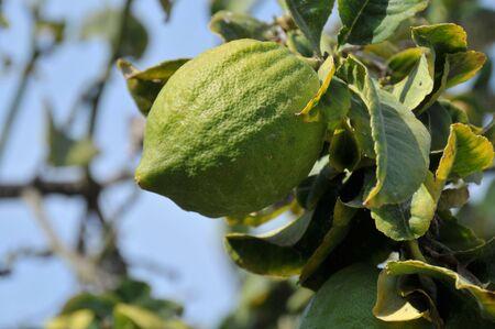 etrog: Closeup of growing citron used for jewish sukkot holiday. Stock Photo