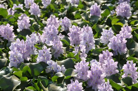 Close up of texture of beautiful water hyacinth