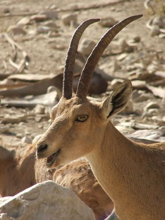 Head of wild antelope on stone desert background.  photo
