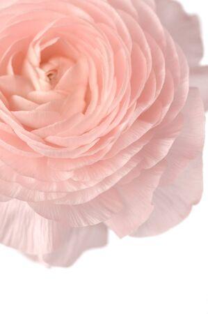 Close-up of rose ranunculus flower on white background
