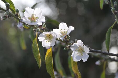 Close-up of blossoming almond branch on dark background