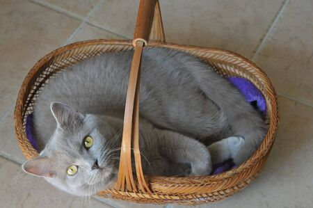 British cat sitting in a basket.