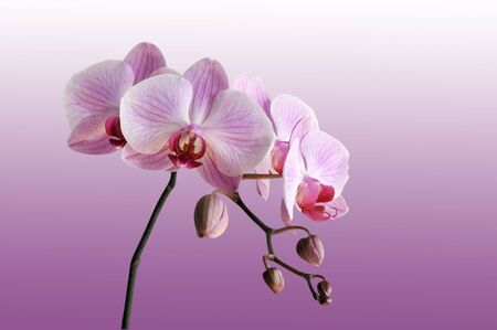 Close-up of pink orchid on violet background