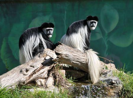 Two colobus monkey sitting on the log