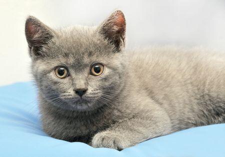 British kitten lying on blue background